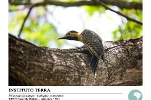 Pica-pau-do-campo (Colaptes campestris)