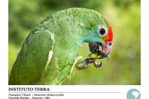 Papagaio chauá (Amazona rhodocorytha)