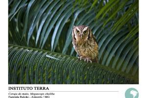 Coruja-do-mato (Megascops choliba)