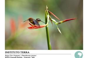 Beija-flor pequeno (Phaethornis pretrei)