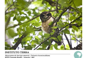 Murucututu-de-barriga-amarela (Pulsatrix koeniswaldiana)