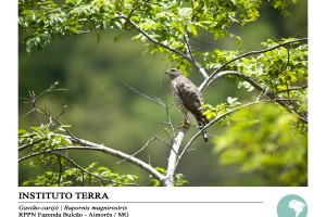 Gavião-carijó (Rupornis magnirostris)