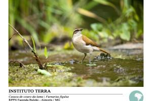 Casaca-de-couro-da-lama (Furnarius figulus)